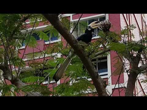 Rare Oriental Pied Hornbill spotted at Pasir Ris