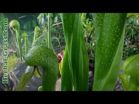 Дарлингтония калифорнийская - плотоядное растение хищник