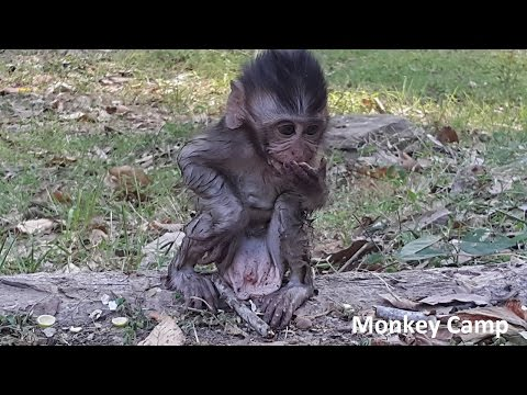 Thumbnail: Baby monkey got wet because of play water, Real life of baby monkey at Angkor, Monkey Camp part 531