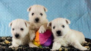 Sab-nest Miot I - Puppy Westie
