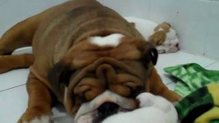 The Cutest English Bulldog Puppy Video You Will Ever See!!!