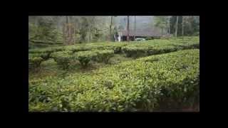 View of Gunung Mas Tea Estate, Puncak, Indonesia