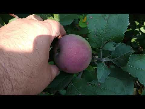 Урожай яблок в Сибири 2020г. Проверенные сорта яблонь для Сибири.