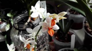 Орхидея Мини Марк за 550 рублей😋