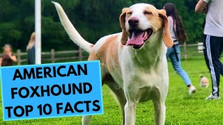 American Foxhound  TOP 10 Interesting Facts