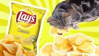Шок-кот ест чипсы