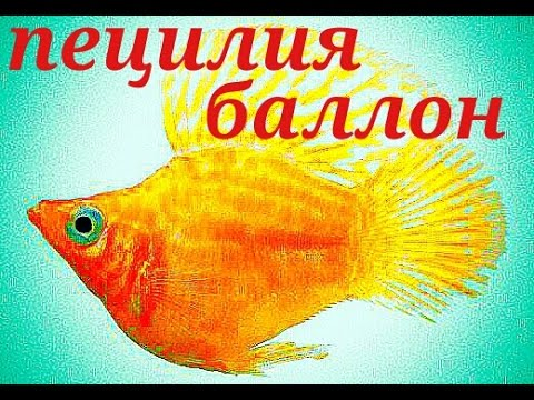 Аквариумные рыбки. Пецилия Баллон .