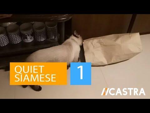 Quiet Siamese - Siamese cat squeezing through brown bag