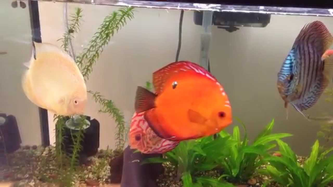 Freshwater aquarium fish internal parasites - Yellow Discus Is Recovering From Internal Parasites