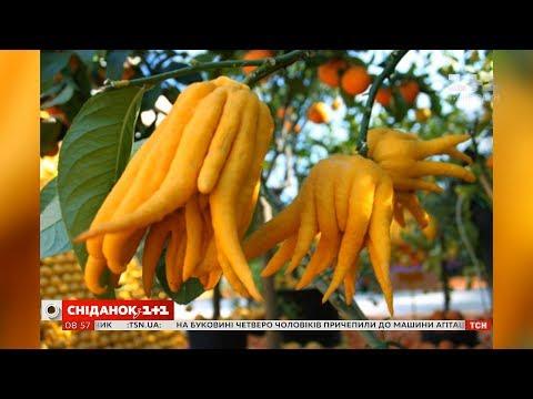 Магічний цитрон Рука Будди – що це за фрукт