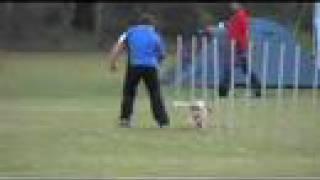 Cocker Spaniel Open Agility Run