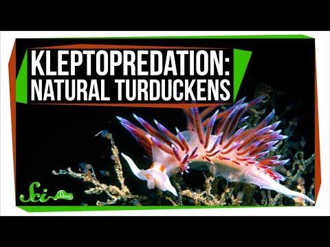Kleptopredation: Natural Turduckens