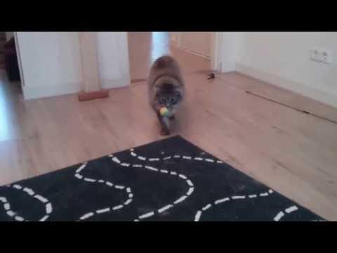 Cute Norwegian Forest Cat plays fetch