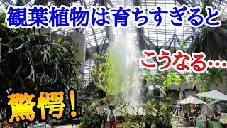 【ジュラシックパーク?!】まだ見ぬ観葉植物の真の姿をお見せします。ご自宅の観葉植物もここまで大きくなるかもしれません! 咲くやこの花館 japan botanical garden Osaka