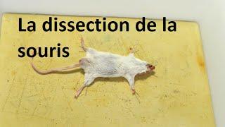 Video La dissection de la souris download MP3, 3GP, MP4, WEBM, AVI, FLV Januari 2018