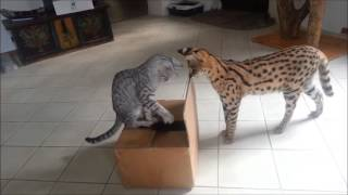 Savannah Cat TV - Cats have fun with a box (funny)
