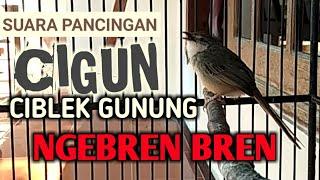 Kicau Burung Ciblek Gunung / Cigun Gacor Ngebren Pendek Untuk Pikat & Masteran Prenjak Bahan