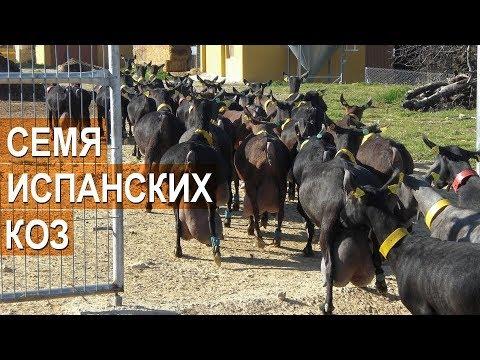 Испанские козы. Ввоз семени коз испанских пород в Россию.