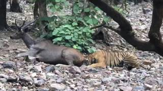 Video Killer tiger download MP3, 3GP, MP4, WEBM, AVI, FLV November 2017
