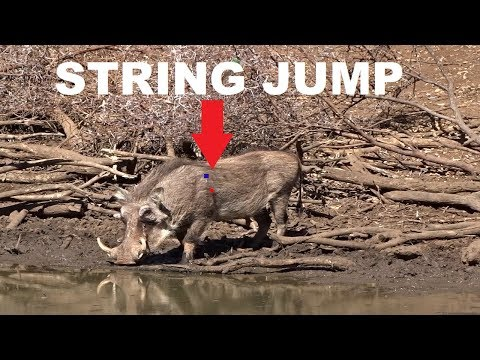 How Much Do Animals Actually String Jump! (Impala And Warthog Examples)