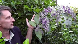Петрея вьющаяся(Petrea volubilis L.)