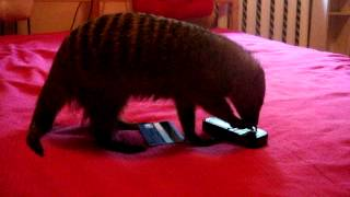 my mongoose Tricky, the best pet i ever had)))