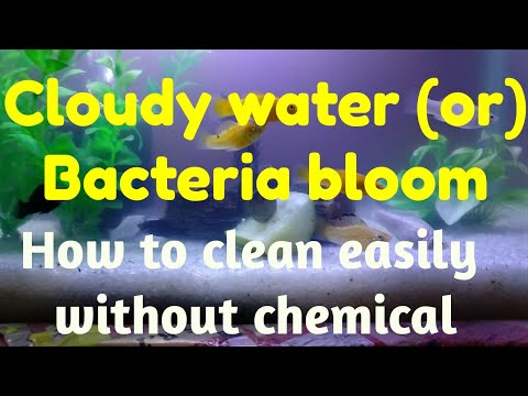 How To Clean Cloudy Water In Aquarium | Bacteria Bloom Explained | Reason And Fixes
