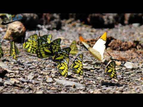 menabjubkan keindahan kupu kupu ketika terbang di atas angin