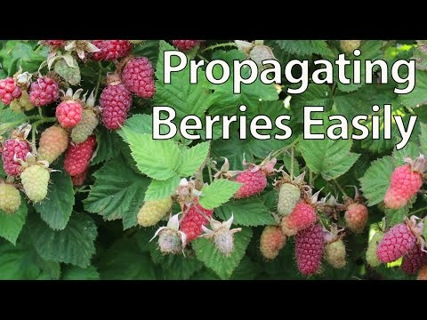 How To Propagate Blackberries Easily By Layering (and Other Berries)