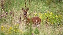 Roe Deer, Hogganfield Park LNR