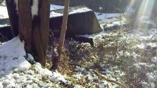 半矢の猪に吠え込む北海道犬サチと甲斐犬のミコ!