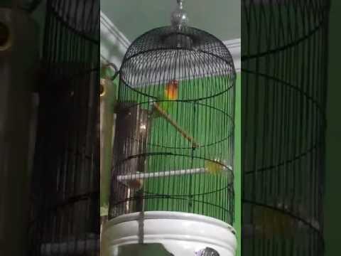 Lovebird jas jus ngekeke panjang