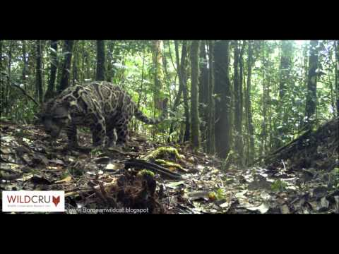 First footage of Sunda Clouded leopard scent marking