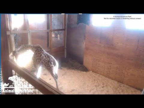 Giraffe-Watch | April the Giraffe to Give Birth Soon at Animal Adventure Park