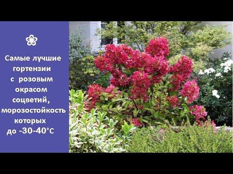 ❀ Самые лучшие гортензии с розовым окрасом соцветий, морозостойкость которых до -30 -40°С