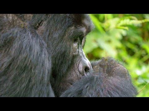 Uganda  Besteigung Ruwenzori, 5109 m Verlängerung Berggorillas im Bwindi-Nationalpark