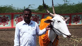 A gentle cow priced at 2.5 lakhs
