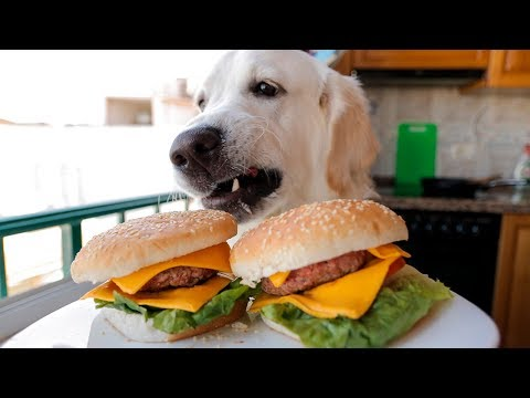 Funny Dog Makes Hamburger: Golden Retriever Puppy Bailey