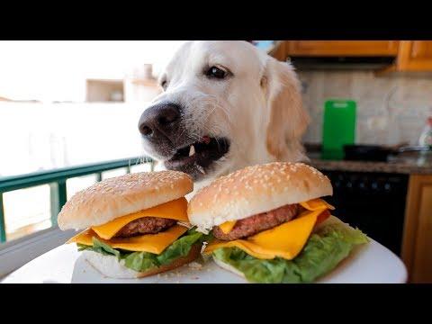 Funny Dog Makes Hamburger: Golden Retriever Puppy Bailey