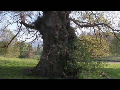 approach-and-wrap-around-look-at-an-exquisitely-beautiful-old-oak-tree