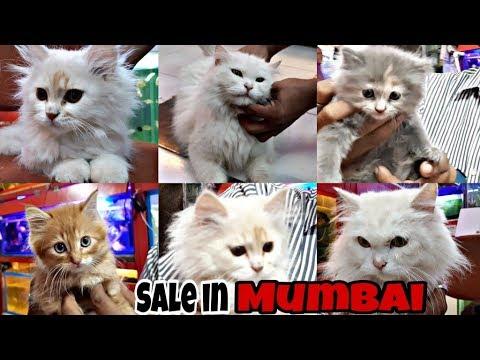 Persian Cats for Sale in Mumbai | Perisan Cats Care | Doll Face Persian Cats | Exotics World