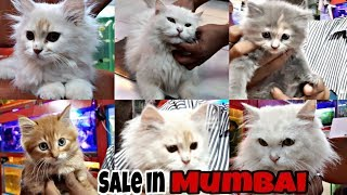 Persian Cats For Sale In Mumbai  Perisan Cats Care  Doll Face Persian Cats  Exotics World