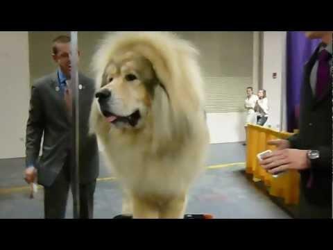 Tibetan Mastiff - 2013 Westminster Kennel Club Dog Show