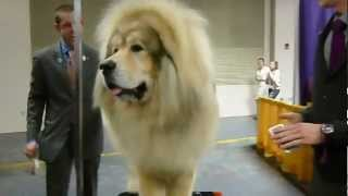 More than 1 million views! Thank you!!! Sasha the Tibetan mastiff (...