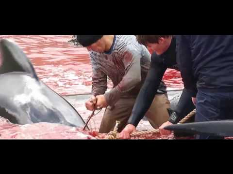 Faroe Islands - Denmark - Stop The Slaughter !