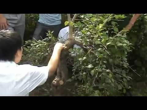 Chia sẻ và Hướng dẫn làm cây bonsai quái độc lạ (Cây Hoa Giấy)