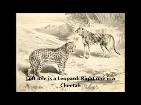 Cheetah Leopard Jaguar Panthers - Basic Difference