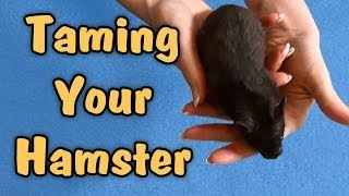 TAMING YOUR HAMSTER - Tips & Talk Thumbnail