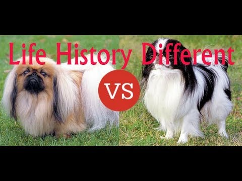 What Do You Want To Know About Japanese Chin?