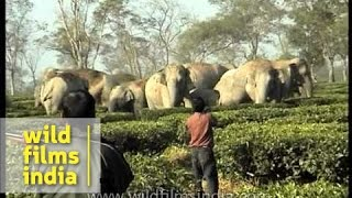 Herd of wild elephants threaten tea garden in Assam, India